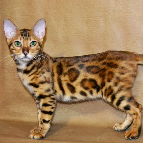 249 Olimpia  purebred Bengal female kitten