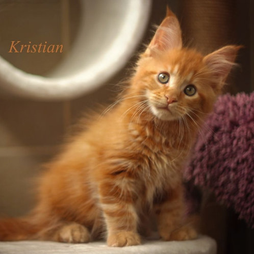 634 Kristian Maine Coon male kitten