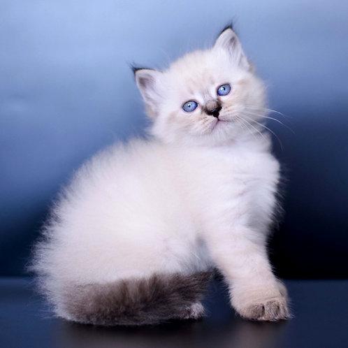285 Ayaks    Siberian male kitten