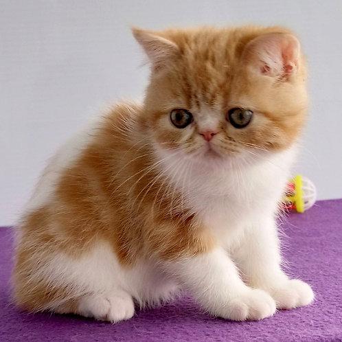 122  Ron  Exotic  male kitten