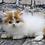 Thumbnail: 1133 Mishka  Scottish straight longhair male kitten