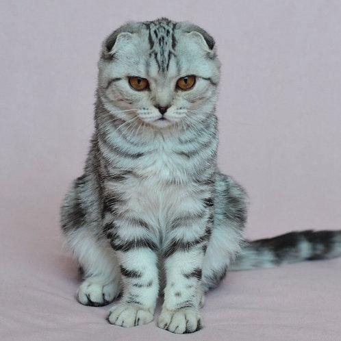 451 Ofelia  Scottish fold shorthair female kitten