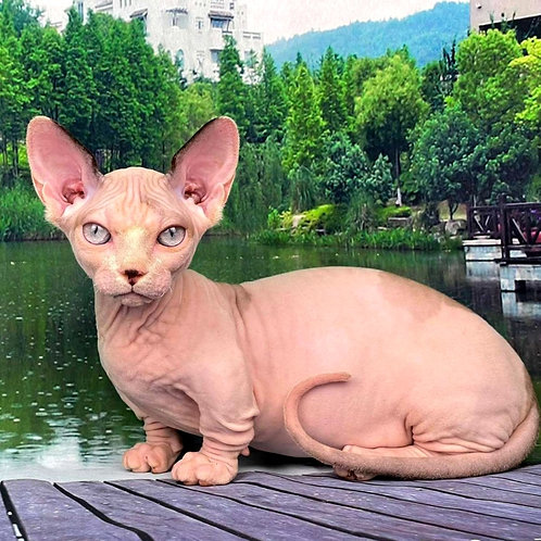 685 Honor male Bambino  kitten