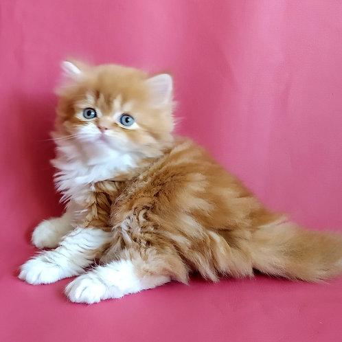 Lana Scottish straight longhair female kitten
