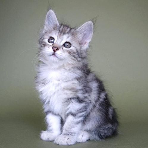 513 Virginiya  Kurilian Bobtail female kitten