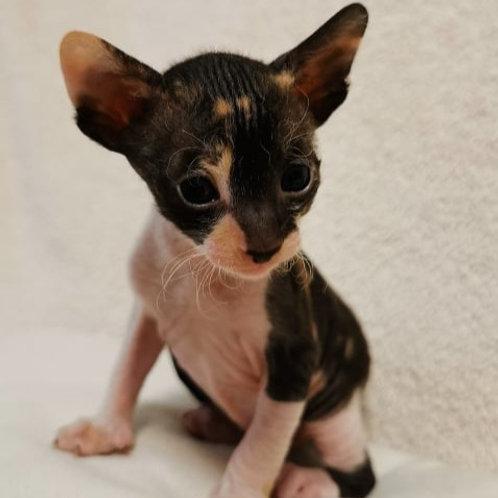 371 Mary  female kitten Cornish Rex