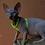 Thumbnail: 603 Quentin   male Sphynx   kitten