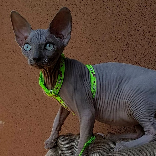 603 Quentin   male Sphynx   kitten