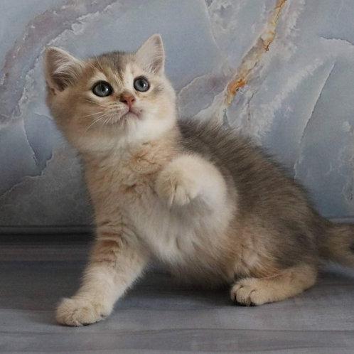 722 Wiskey  British shorthair male kitten