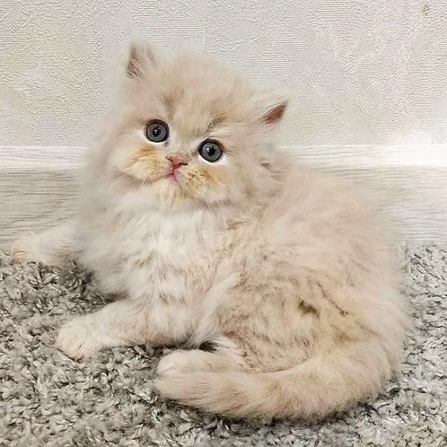 639 Jackson  Scottish straight longhair male kitten