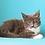 Thumbnail: 570 Ramses  Maine Coon male kitten