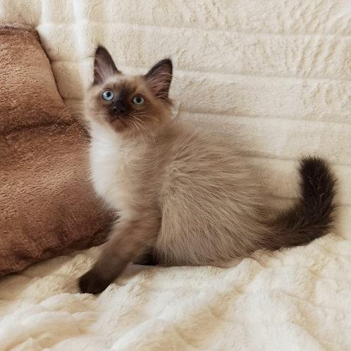 Lotos Siberian male kitten