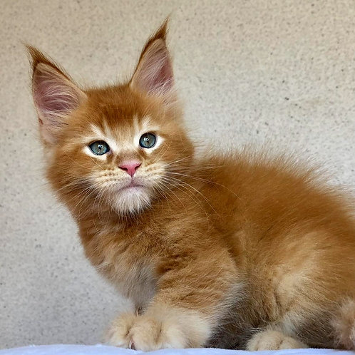 563 Axel  Maine Coon male kitten