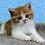 Thumbnail: 838 Velvet   Scottish straight shorthair male kitten