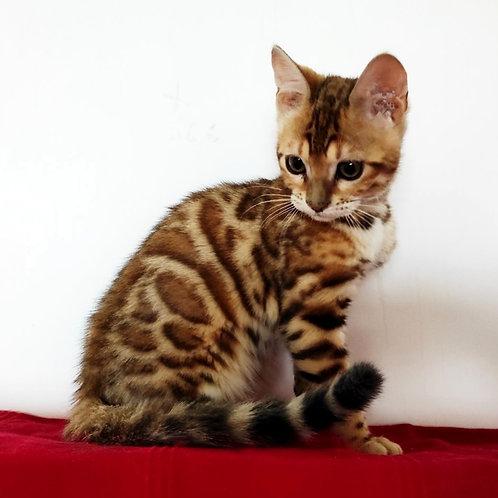 31 Zara   purebred Bengal female kitten