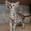 Thumbnail: 437 Jane   Oriental female kitten