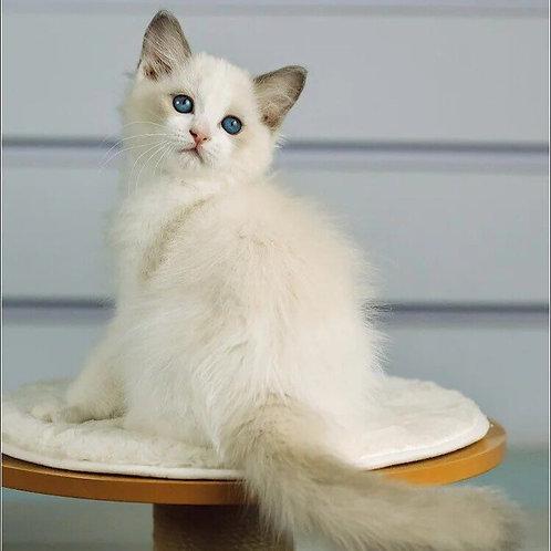 310 Henry   Ragdoll male kitten