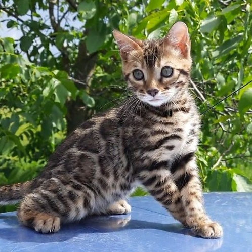 163 Vincent  purebred Bengal male kitten