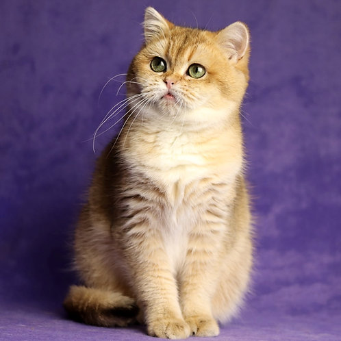 460 Celine Dion   British shorthair  female kitten