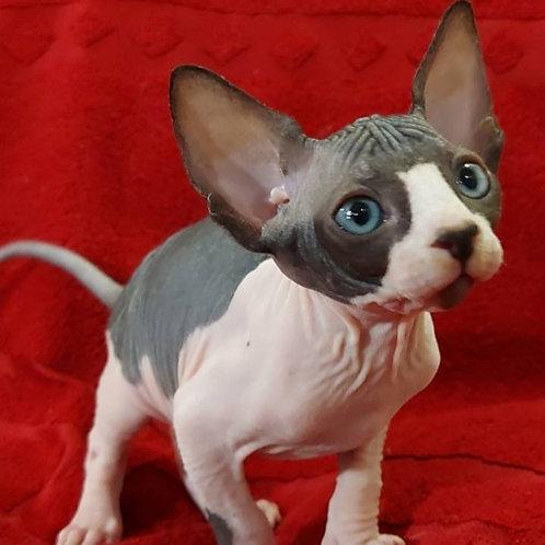 453 Lucky male Sphinx kitten