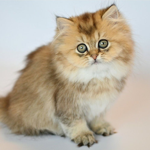 770 Blaise   Scottish straight longhair male kitten