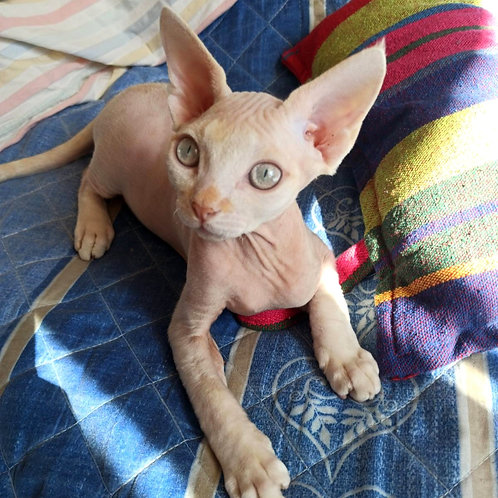 559 Sunny  male kitten Devon Rex