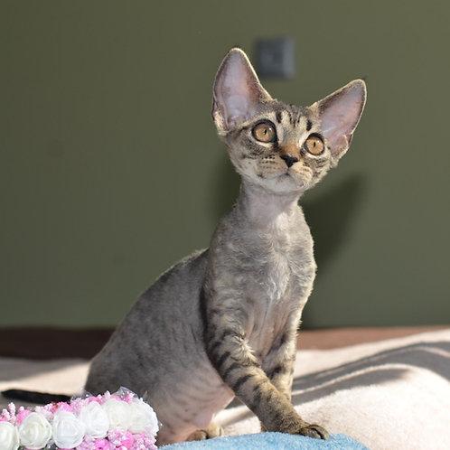 Roxy female kitten Devon Rex