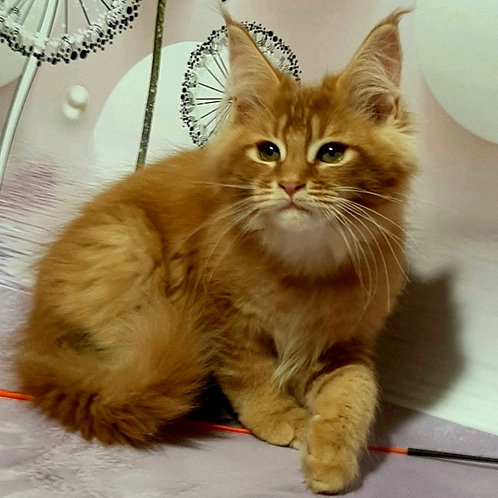 891 Maybach Maine Coon male kitten