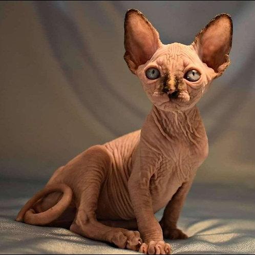 Bridzhet female Sphinx kitten