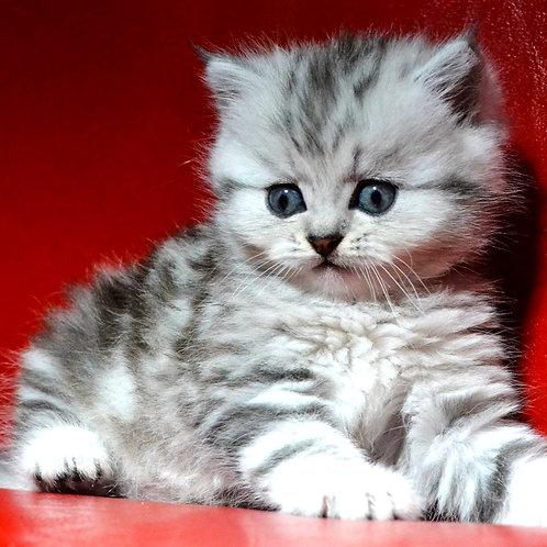 Charli Scottish straight longhair female kitten