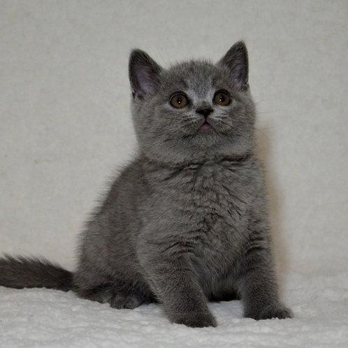 340 Hanter   British shorthair male kitten
