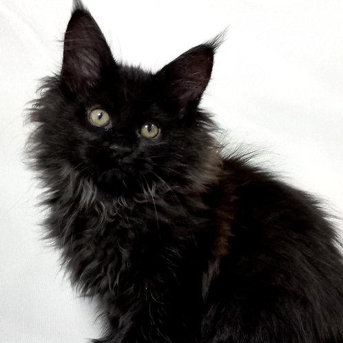 868 Bagira  Maine Coon female kitten