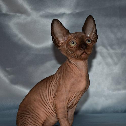 Kasper male Sphinx kitten
