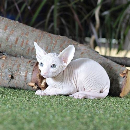 Jelsomino male Sphinx kitten