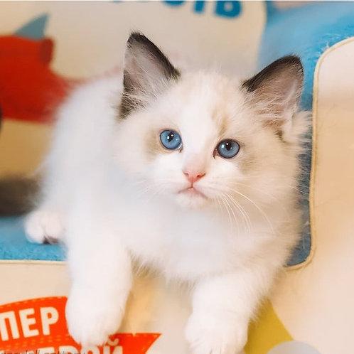 29 Wictor   Ragdoll male kitten