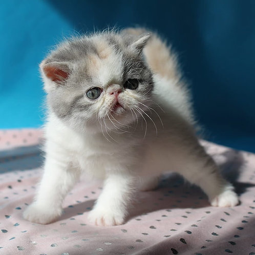 Ivanka Exotic shorthair female kitten