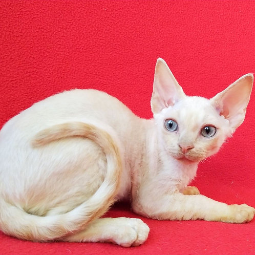 319 Voland male kitten Devon Rex