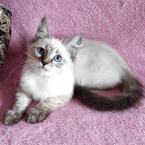 193 Kallista      Siberian female kitten