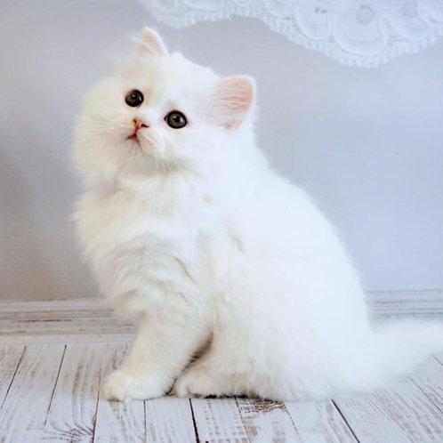 240 Honey   Scottish straight longhair female kitten