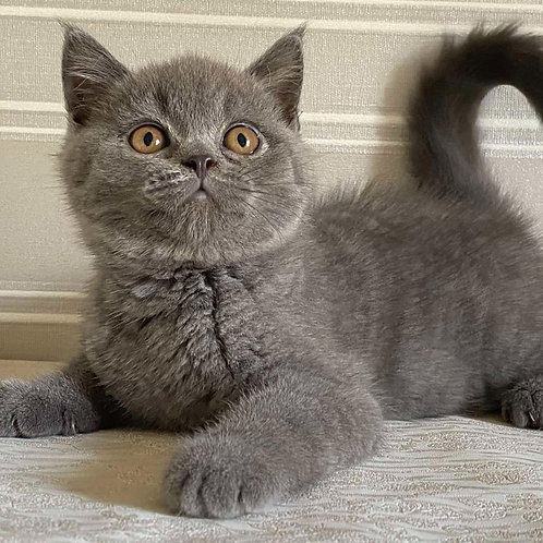 778 Fill   Scottish straight shorthair male kitten