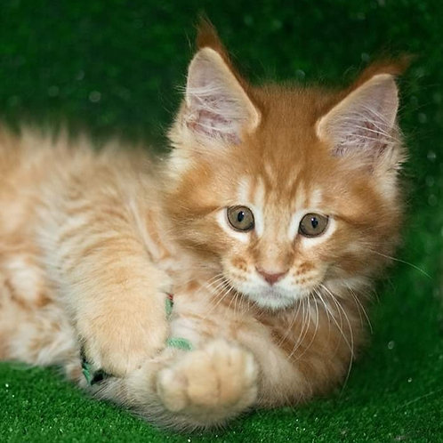 339 Scythian  Maine Coon male kitten