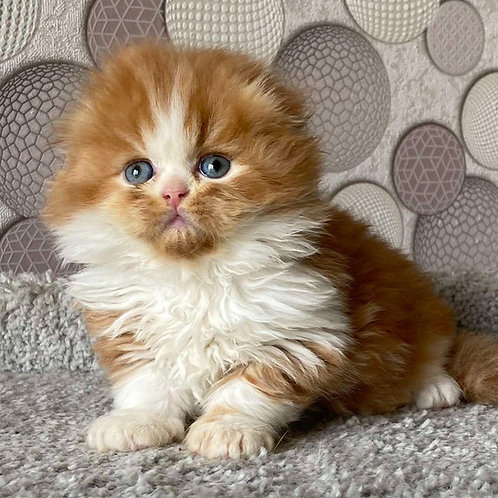 561 Kusya  Scottish fold longhair male kitten