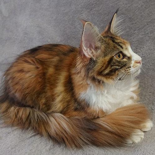 754 Gia  Maine Coon female kitten