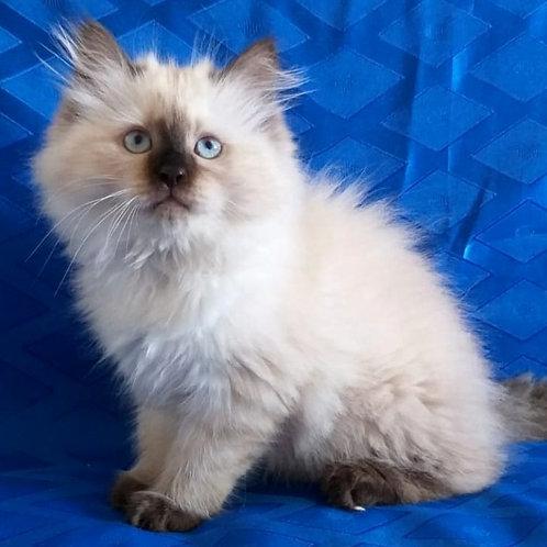 136 Jessi    Siberian female kitten