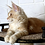 Thumbnail: 774 Eyktan Largo  Maine Coon male kitten