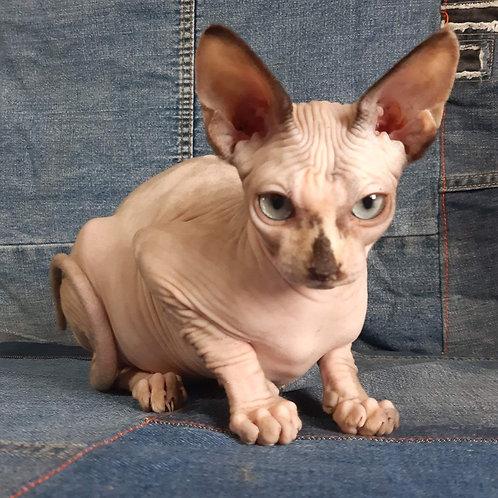 381 Afeliya female Sphinx kitten