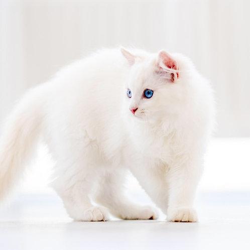 142 Petrucci    Ragdoll male kitten
