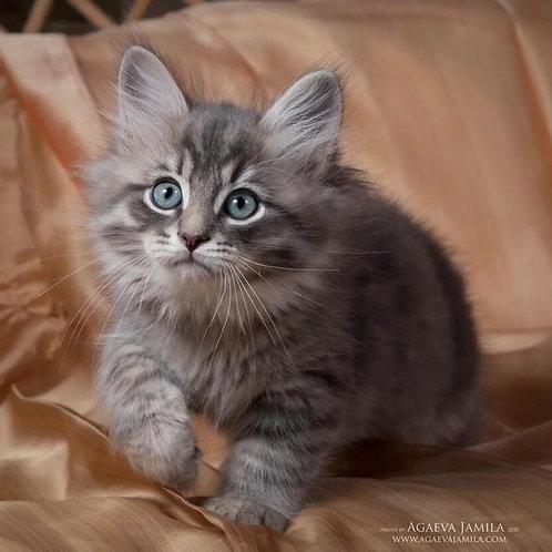 462 Anton Siberian male kitten