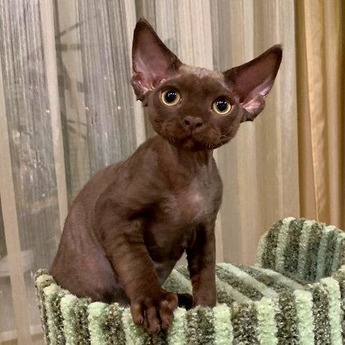 426 Feofaniy  male kitten Devon Rex