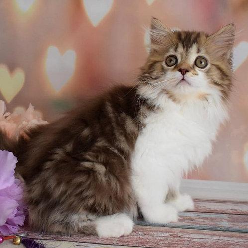 420 Vasilisa      Scottish straight longhair female kitten